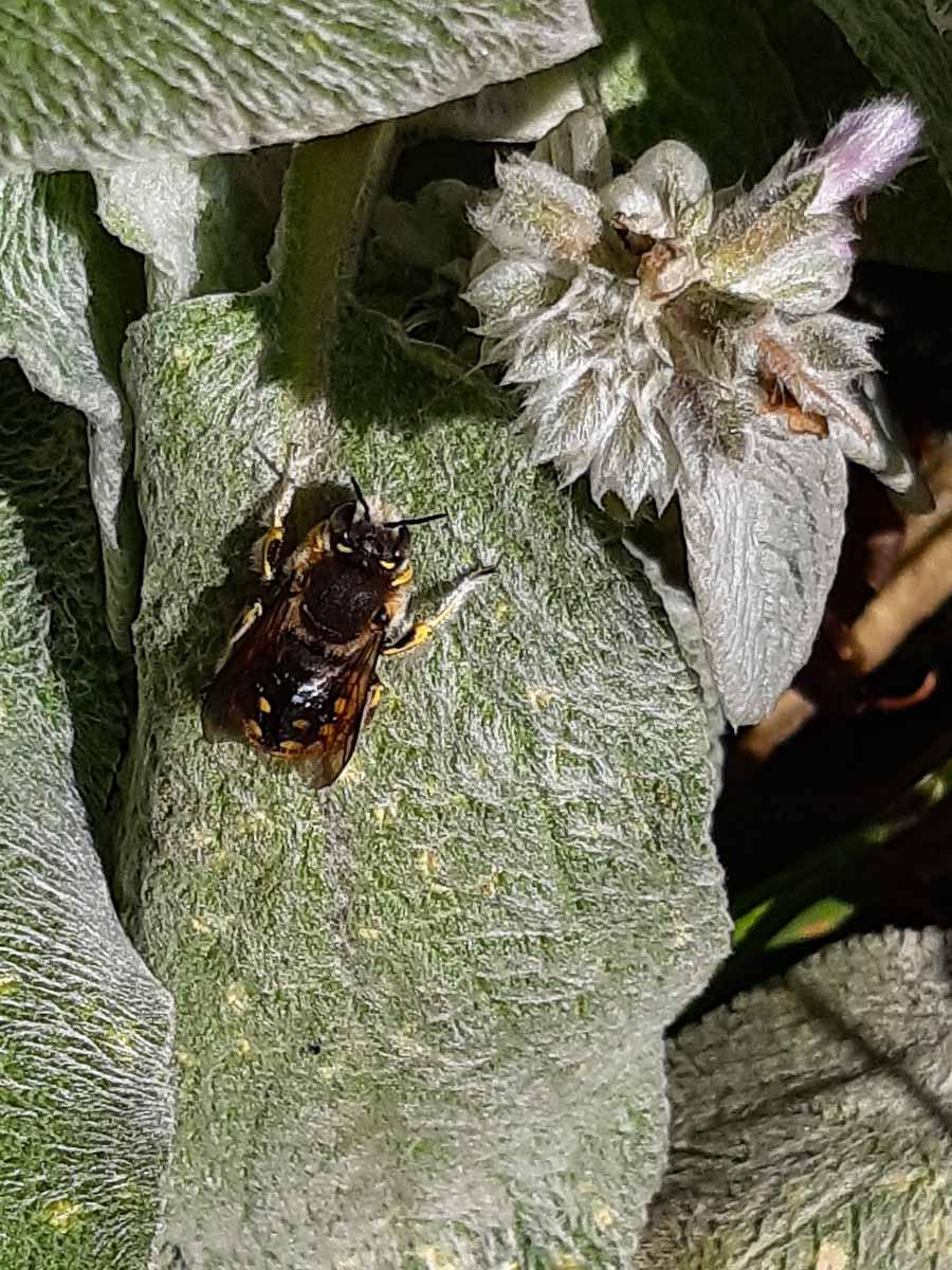 Große Wollbiene (Anthidium manicatum)