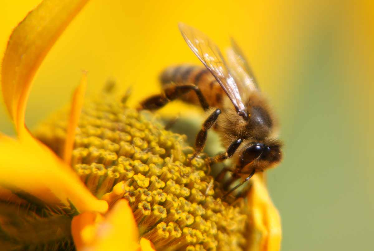 Honigbiene bei der Arbeit
