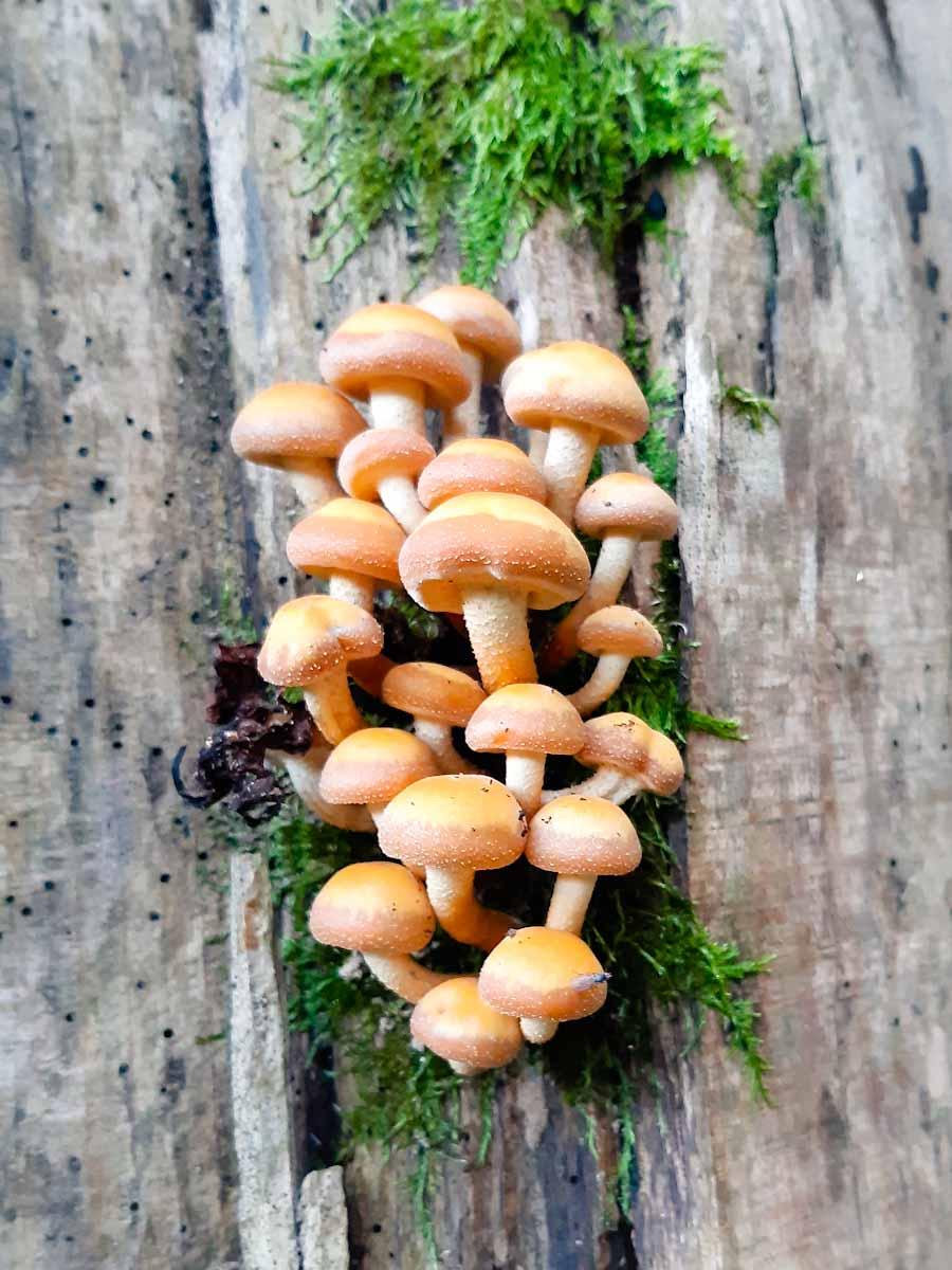 Stockschwämmchen (Kuehneromyces mutabilis)