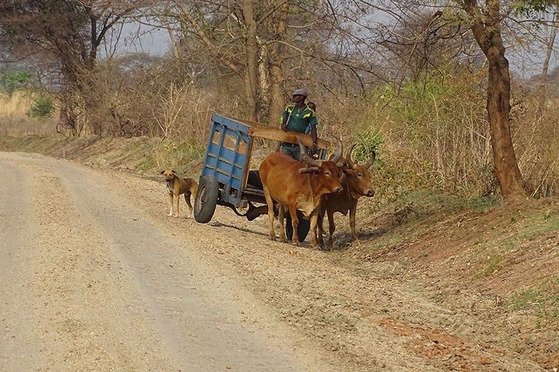 Rinderfuhrwerk