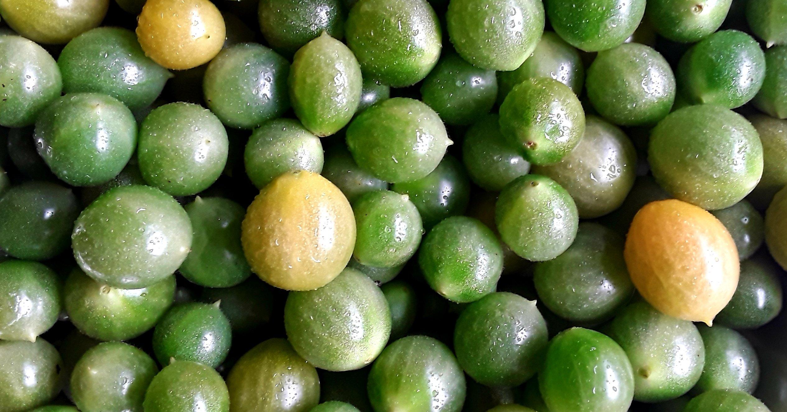 Grüne Tomaten Sorte Galapagos