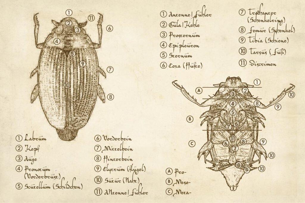 Gyrinidae