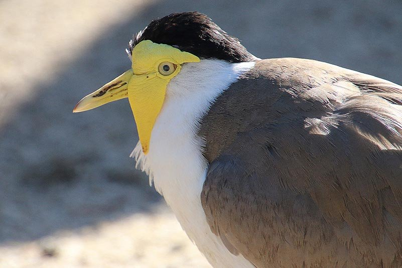 Maskenkiebitz (Vanellus miles)