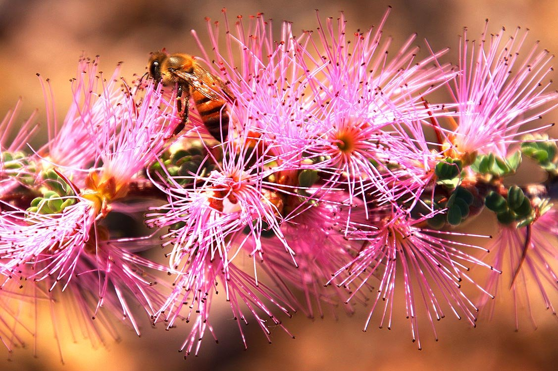 Richtersveld Nationalpark, Calliandra redacta