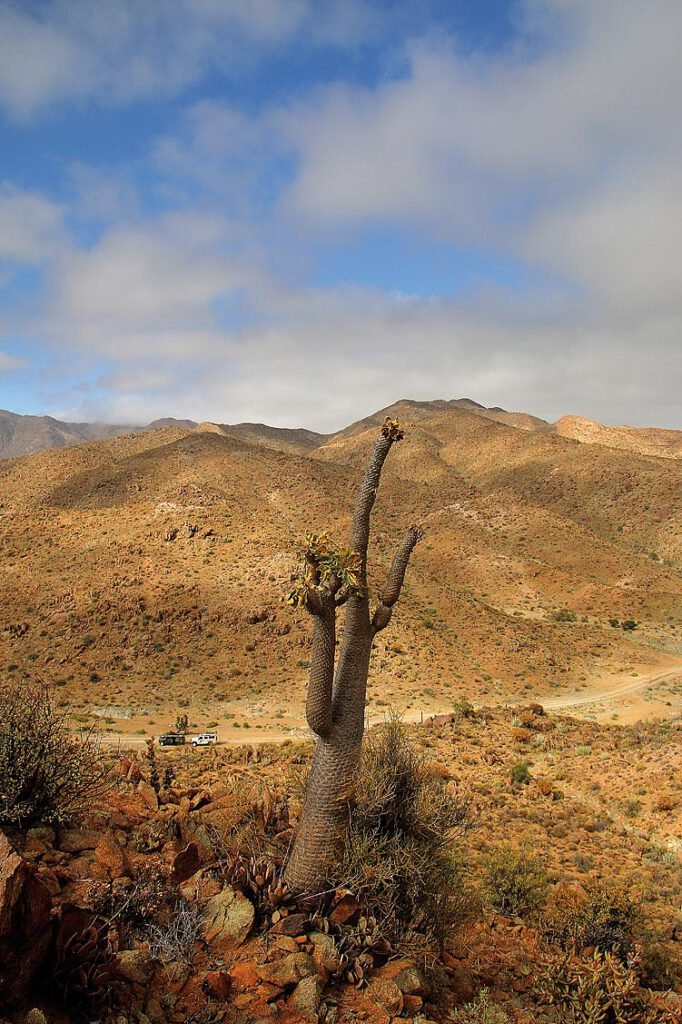 Richtersveld Nationalpark, Pachypodium namaquanum