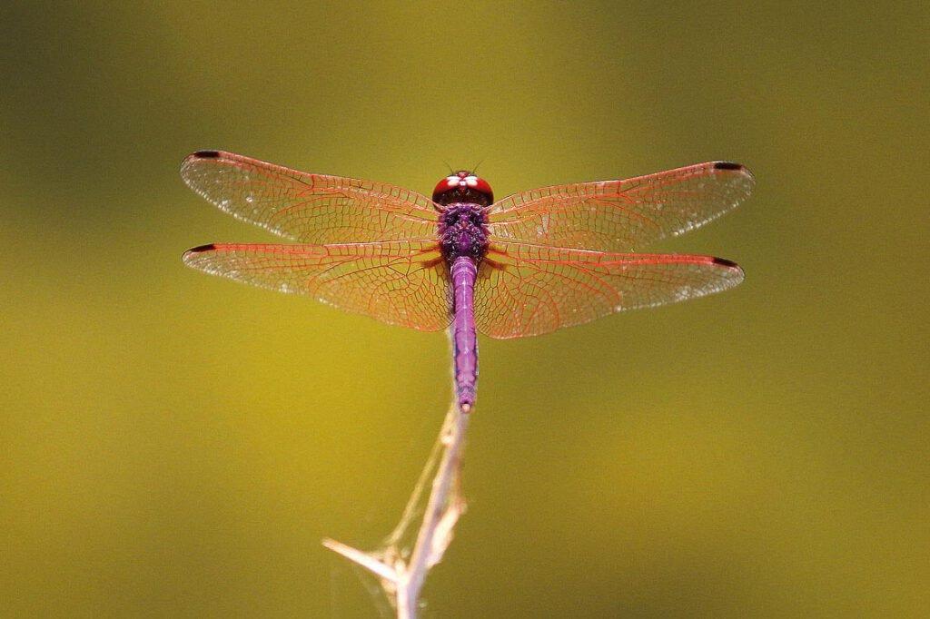 Violetter Sonnenanzeiger (Trithemis annulata)