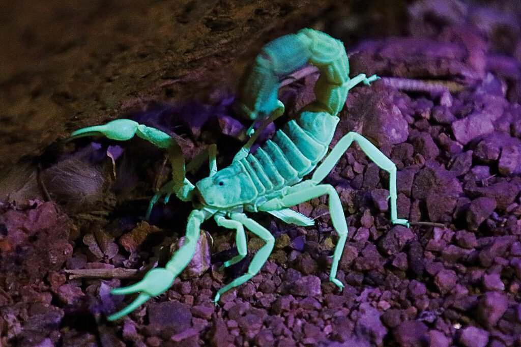 Skorpion in UV-Licht