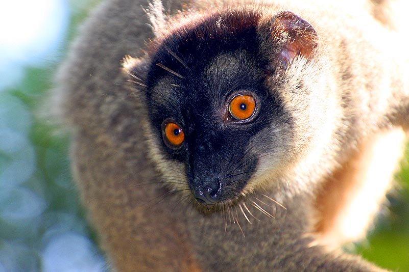 Was er wohl denkt? – Brauner Lemur (Eulemur fulvus)