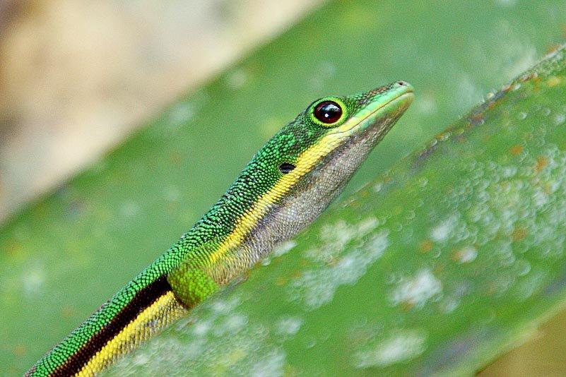 Taggecko (Phelsuma)