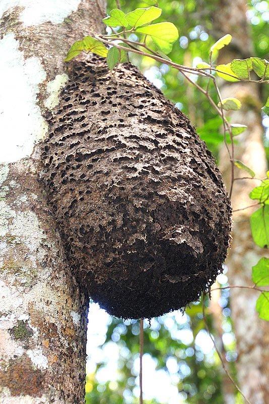 Ameisenbau hoch oben im Baum