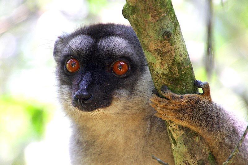 Brauner Lemur (Eulemur fulvus)