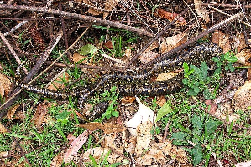 Madagaskar-Boa (Acrantophis madagascariensis)