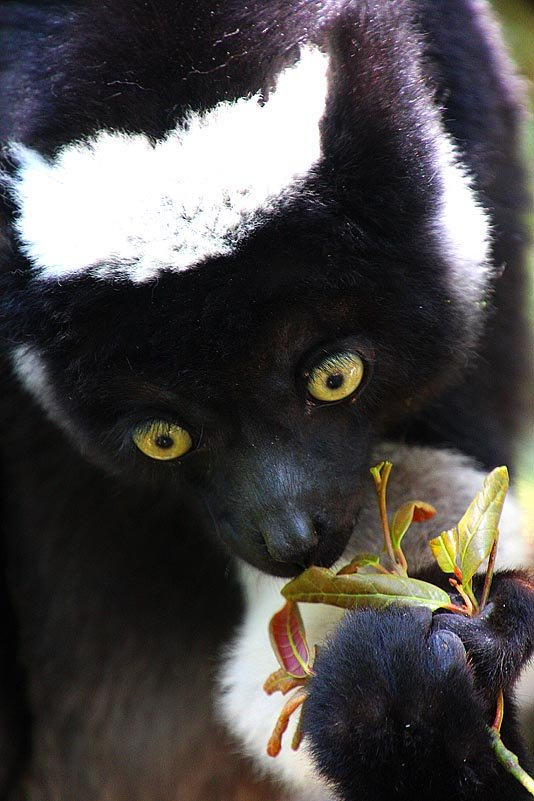 Fressender Indri