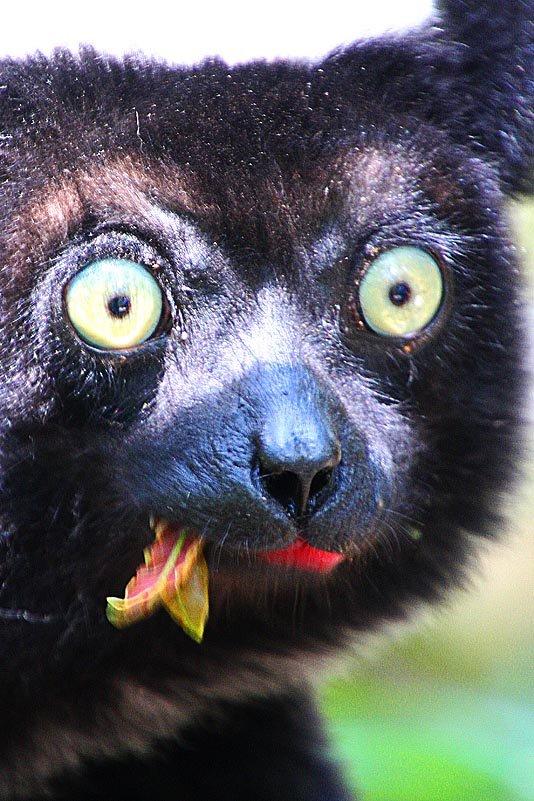 Indri mit staunenden Kulleraugen