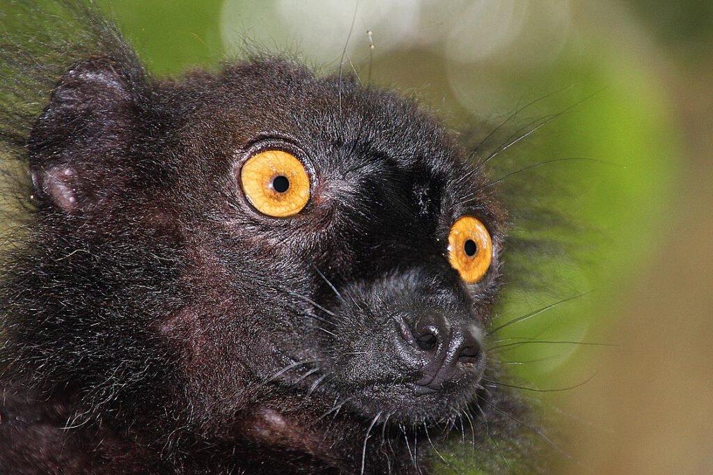 Eulemur macaco (männlich)