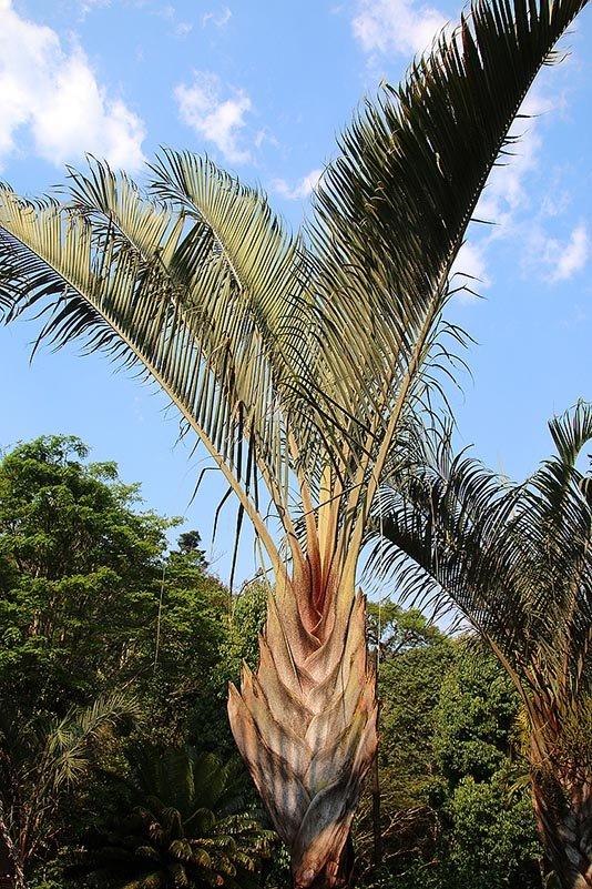 Baum der Reisenden (Ravenala madagascariensis)