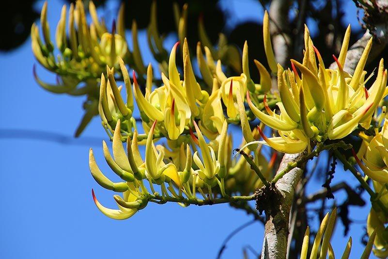 Blüten einer Liane (Strongylodon craveniae)