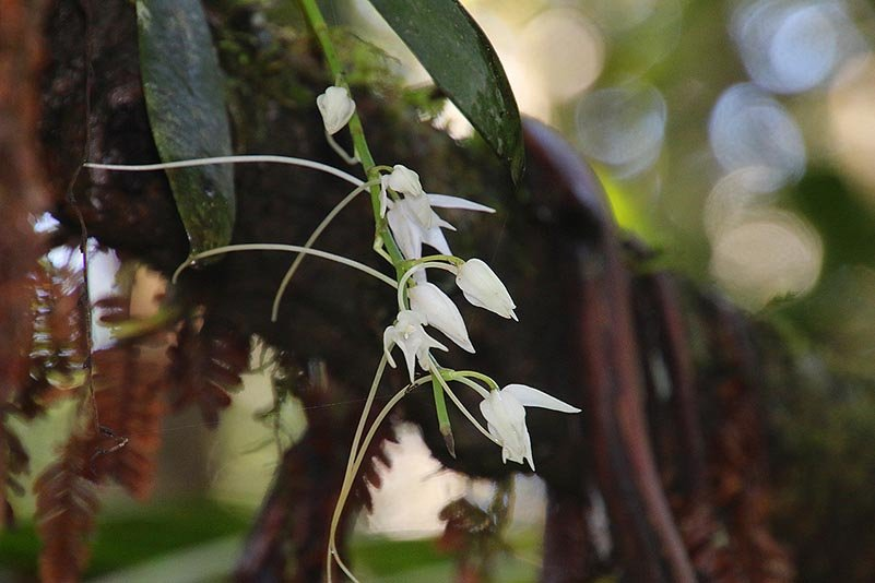 Orchidee (Angraecum sp.)