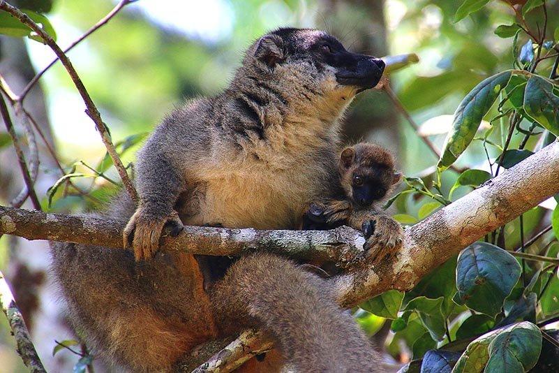 Brauner Lemur Eulemur fulvus)
