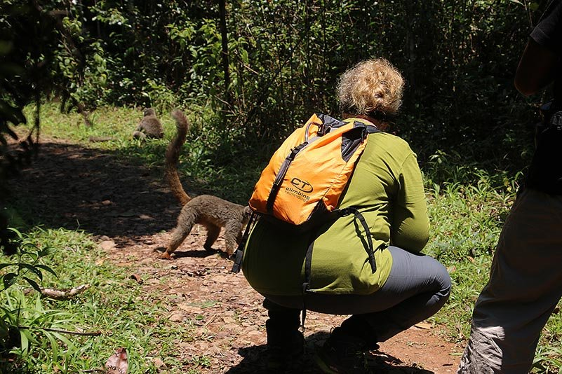 Braune Lemuren (Eulemur fulvus)