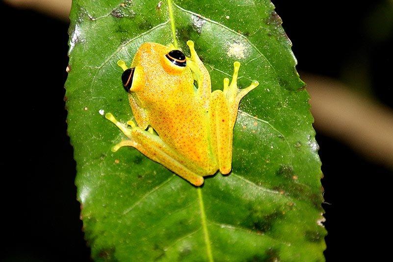 Helläugiger Madagaskarfrosch (Boophis viridis)