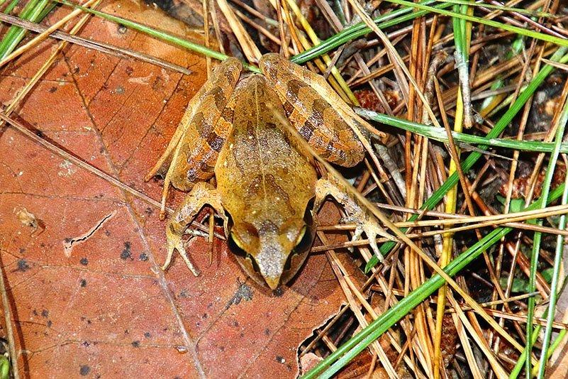 Madagaskar Springfrosch (Aglyptodactylus madagascariensis)