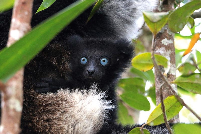 Indri-Baby mit blauen Augen