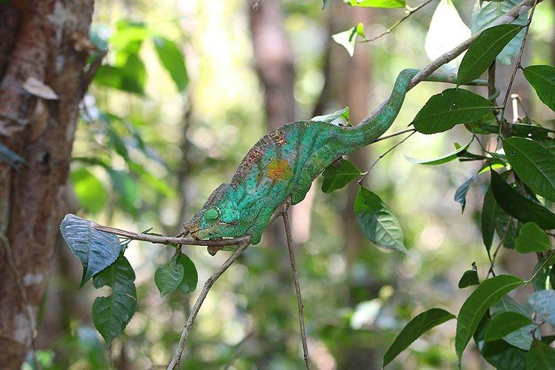 Calumma parsonii cristifer