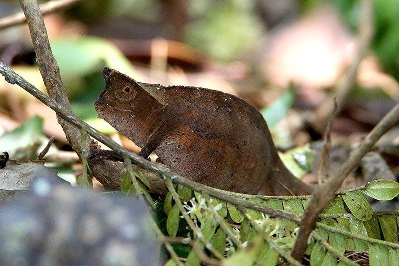 Erdchamäleon der Gattung Brookesia superciliaris