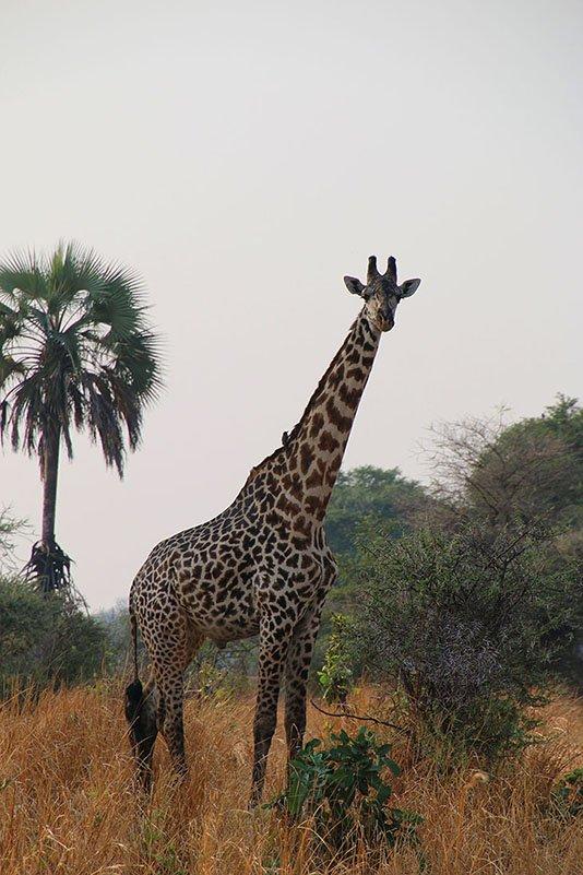 Giraffe, Katavi