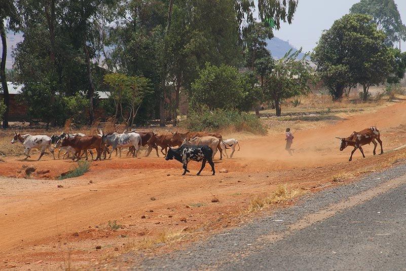 Rinder queren die Straße
