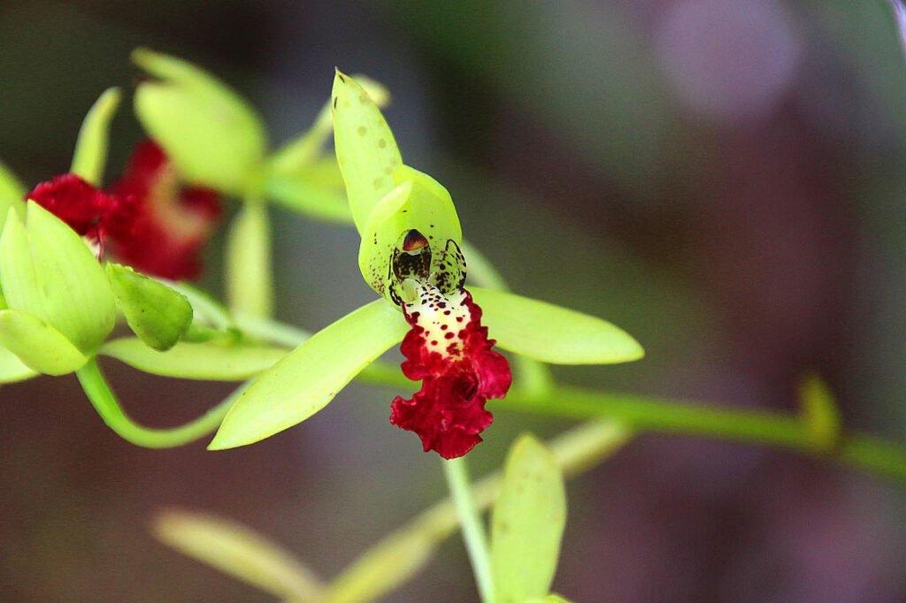Cymbidiella flabellata