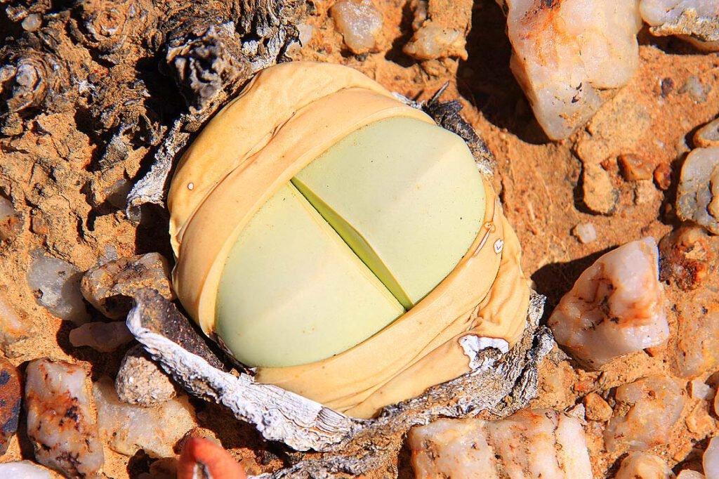 Knersvlakte - Typische Quarzfeld-Sukkulenten