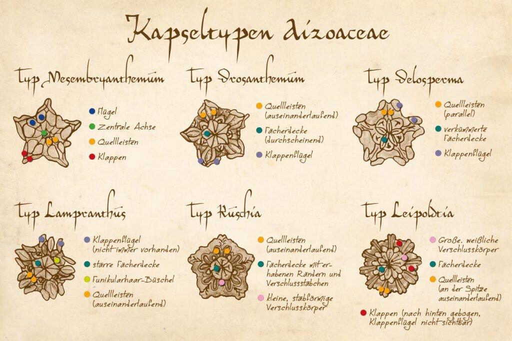 Kapseltypen Aizoaceae