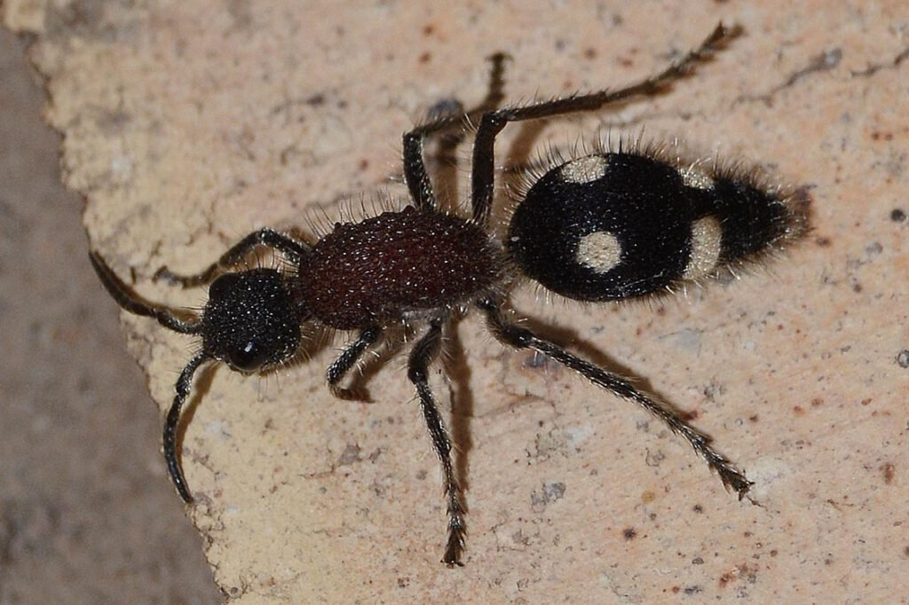 Mutillidae - Dolichomutilla sycorax