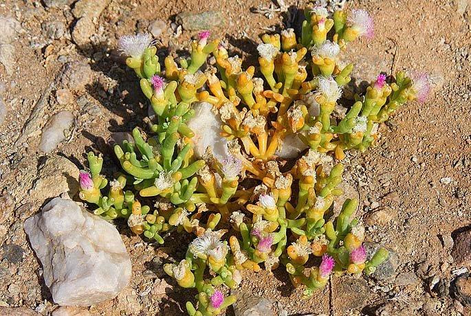 Mesembryanthemum hypertrophicum